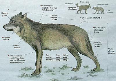 wolf voedsel